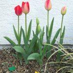 クリニック花壇のチューリップ